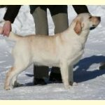 Integrity Farm Labrador Retriever Pups- ABBYS MOM